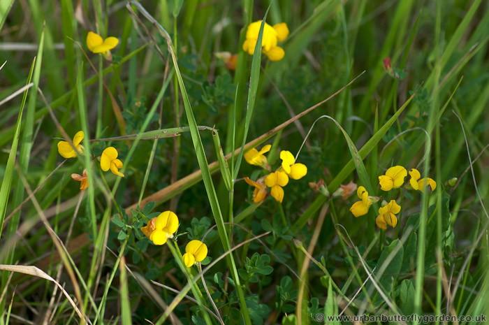 Common Yellow Garden Flowers wildflower | urban butterfly garden