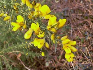 Gorse(ulex spp.) close up