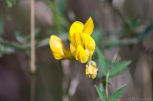 Greater Birds-foot Trefoil (ILotus-uliginosus) close-up on yellow flower