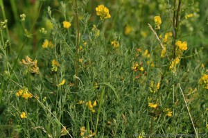 Greater Birds-foot Trefoil (Lotus uliginosus) yellow flowers