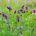 Greater Knapweed (Centaurea scabiosa)