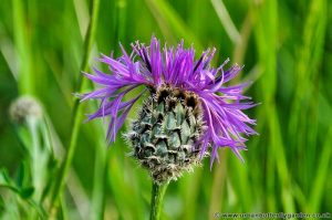 Greater Knapweed (Centaurea scabiosa) flower head