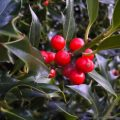 Holly shrub-bush (Ilex) bright red berries