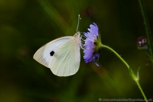 Large White Butterfly (Pieris brassicae) on wild scabious flower