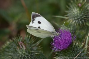 Large White Butterfly (Pieris brassicae) on thistle flower