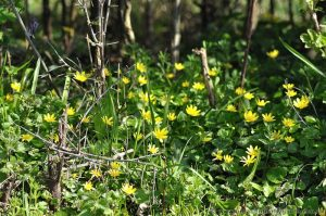 Lesser Celandine (Ranunculus ficaria) yellow spring flower growing under Hedgerow