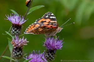 Painted Lady Butterfly (Vanessa cardui) on Knapweed