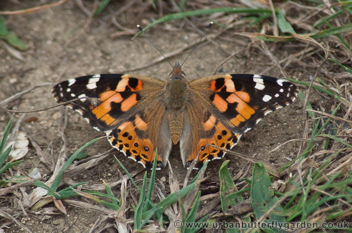 Painted Lady Butterfly (Vanessa cardui) | Urban Butterfly ...