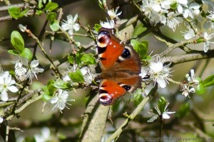 Peacock Butterfly, April Blackthorn Blossom