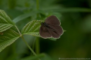 Ringlet Butterfly (Aphantopus hyperantus) with wings open on Bramble leaf.