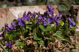 Common Dog-violet (Viola riviniana) - Wild Violets