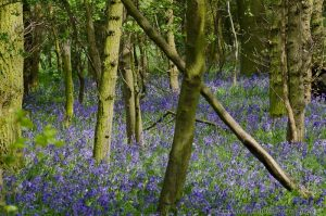 Blubells carpeting floor in deciduous woodland