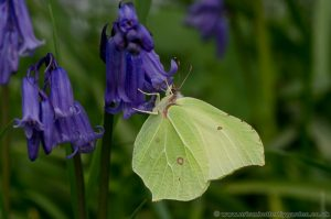 Brimstone nectaring on Bluebells in April