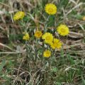 Coltsfoot (Tussilago farfara) yellow flowering spring plant