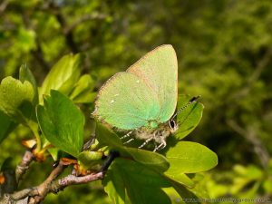 Green Hairstreak Butterfly (Callophrys rubi) resting on hawthorn shrub