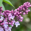 Lilac (Syringa) close up of flowers