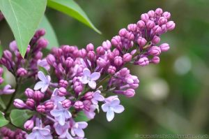 Lilac (Syringa) close up of purple/pink flowers