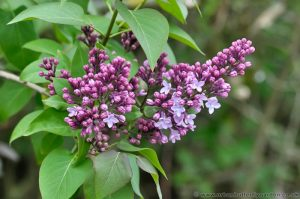 Lilac (Syringa) purple/pink spring flowering shrub
