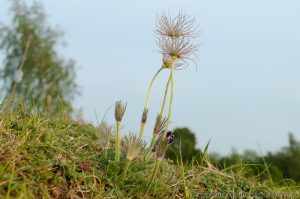 Pasque flower (Pulsatilla vulgaris) seed heads