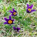 Pasque flower (Pulsatilla vulgaris) rare wildflowers