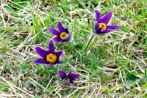 Pasque flower (Pulsatilla vulgaris) large rare purple and yellow wildflowers