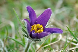Pasque flower (Pulsatilla vulgaris) rare purple spring wildflower