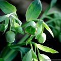 Stinking Hellebore (Helleborus foetidus) native winter flowering plant