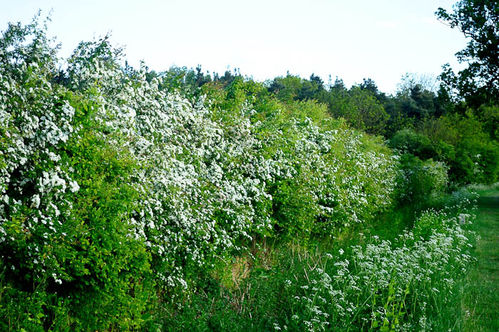 hawthorn native shrub in hedgerows across britain urban