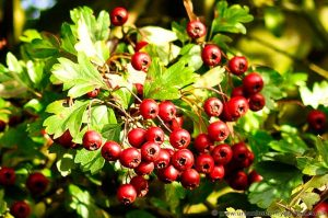 Native Hawthorn shrub (Crategus monogyna) Red Berries in Autumn Hedgerows