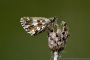 Grizzled Skipper (Pyrgus malvae) on Knapweed stem