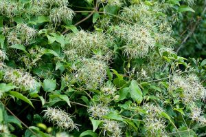 Old Man's Beard (Clematis Vitalba) British Native Climbing Shrub