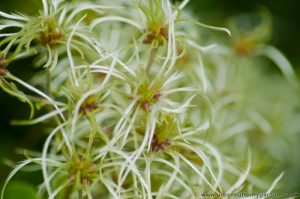 Old Mans Beard (Clematis Vitalba) Travellers Joy