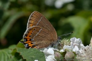 Black Hairstreak (Strymondia Pruni) on Bramble flowers - Glapthorn Cow Pasture.