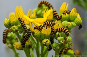 Cinnabar Moth Caterpillars on Ragwort Plant.