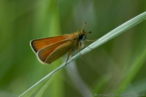 Essex Skipper Butterfly (Thymelicus lineola)