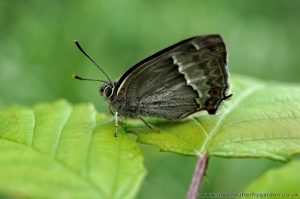 Purple Hairstreak Butterfly - (Neozephyrus quercus) - © Urban Butterfly Garden 2010-2012