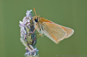 Small Skipper Butterfly (Thymelicus sylvestris) wings closed