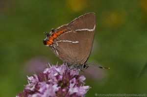 White-letter Hairstreak (Satyrium w-album) on Marjoram
