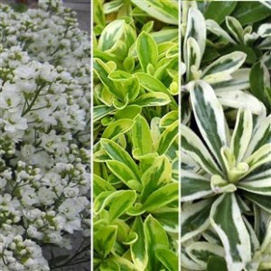 Jersey Plants Arabis Perenial Collection