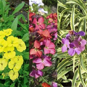 Erysimum Collection 6 Jumbo Ready Plants