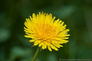 Dandelion yellow or orange flower