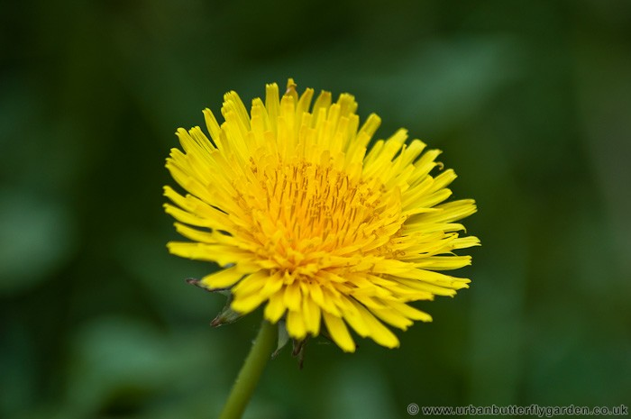 Dandelion taraxacum officinale garden weed or wildflower urban dandelion yellow or orange flower mightylinksfo