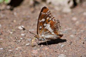 Purple Emperor Butterfly on the ground showing underwings