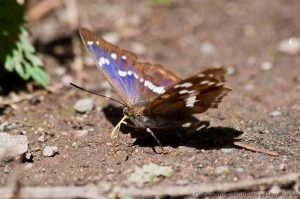 Male Purple Emperor Butterfly feeding on salts