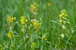 Yellow Rattle in Wild Flower Meadow