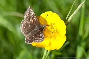 Dingy Skipper Butterfly (Erynnis tages) Cribbs Meadow on Buttercups