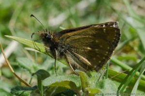 Dingy Skipper Butterfly (Erynnis tages), Ketton Quarry