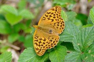 Silver-washed Fritillary Butterfly (Argynnis paphia) Female