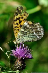 Silver-Wash Fritillary Butterfly - Female- Underwings