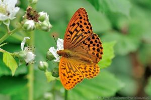 Silver-washed Fritillary Butterfly, Male on Brambles flowers